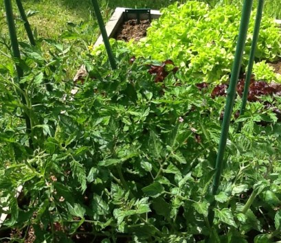 Fresh greens - Homegrown - Les Trauchandieres